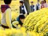 '서산국화축제' 충청남도 향토문화축제로 선정