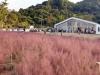 [이곳에 가면] '핑크뮬리'의 물결이 넘실넘실…성거읍 '카페 이숲'