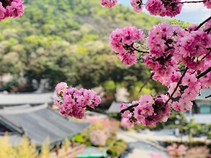 [포토] 봄의 전령사 '겹벚꽃', 각원사를 물들이다